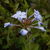 Picture of Plumbago Royal Cape