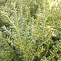 Picture of Podocarpus Nivalis