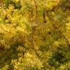 Picture of Podocarpus Totara Aurea