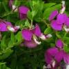 Picture of Polygala Grandiflora