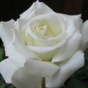 Picture of Pope John Paul II Std 80cm-Rose