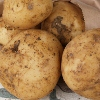 Picture of Potato Ilam Hardy