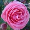 Picture of Precious Memories Std 80cm-Rose