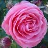Picture of Precious Memories Std 80cm-Rose