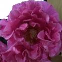 Picture of Princess Alexandra Std 80cm-Rose