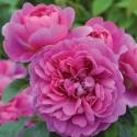 Picture of Princess Anne Std 80cm-Rose