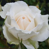 Picture of Princess of Wales-Rose