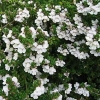 Picture of Prostanthera Cuneata