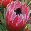 Picture of Protea Burgundy Nipple