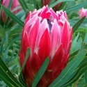 Picture of Protea Candy