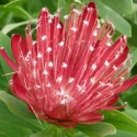 Picture of Protea Clarks Red