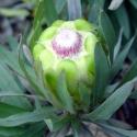 Picture of Protea Coronata