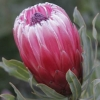 Picture of Protea Frosted Fire