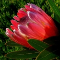 Picture of Protea Magnifica
