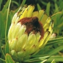 Picture of Protea Margaret Watling