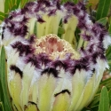 Picture of Protea Neriifolia Alba