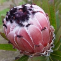 Picture of Protea Pacific Queen