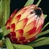 Picture of Protea Possum Magic