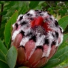 Picture of Protea Rose Mink