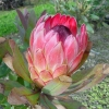 Picture of Protea Sylvia