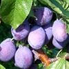 Picture of Prune Plum Stanley