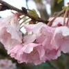 Picture of Prunus Accolade H/W 1.0m