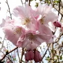 Picture of Prunus Accolade H/W 1.5m