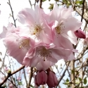 Picture of Prunus Accolade H/W 1.7m