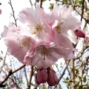 Picture of Prunus Accolade H/W 1.8m