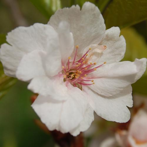 Picture of Prunus Amanogawa L/W