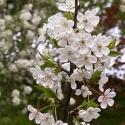 Picture of Prunus Avium Pendula 1.2 H/W