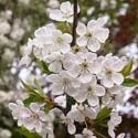 Picture of Prunus Avium Pendula 1.5 H/W