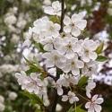 Picture of Prunus Avium Pendula 1.8 H/W