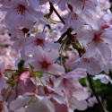 Picture of Prunus Awanui H/W 1.2