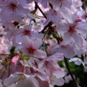 Picture of Prunus Awanui H/W 1.5