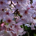 Picture of Prunus Awanui L/W
