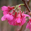 Picture of Prunus Felix Jury H/W 1.5m