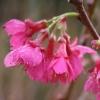 Picture of Prunus Felix Jury L/W