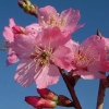 Picture of Prunus Jims Delight H/W 1.2m