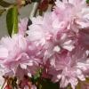 Picture of Prunus Kiku Shidare Sakura H/W 1.2m