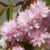 Picture of Prunus Kiku Shidare Sakura H/W 1.5m