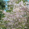 Picture of Prunus Mountain Haze Std 1.5 m