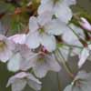 Picture of Prunus Mountain Ice