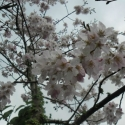 Picture of Prunus Peggy Wilson Std 1.5m