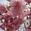 Picture of Prunus Pendula Rosea H/W 1.5m