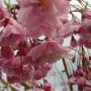 Picture of Prunus Pendula Rosea H/W 1.8m