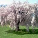 Picture of Prunus Persica Cascade L/W