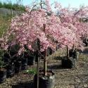 Picture of Prunus Persica Cascade Pink L/W