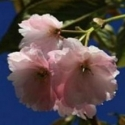 Picture of Prunus Southern Gem H/W 1.5m