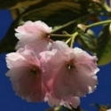 Picture of Prunus Southern Gem H/W 1.8m